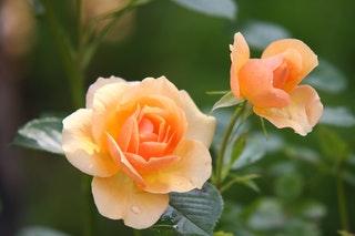 Virágajándékozási szokások